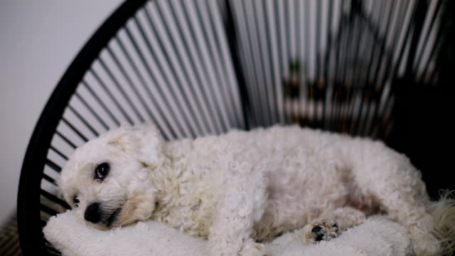 the dog sleeping in the chair - bichon frisé video stock e b–roll