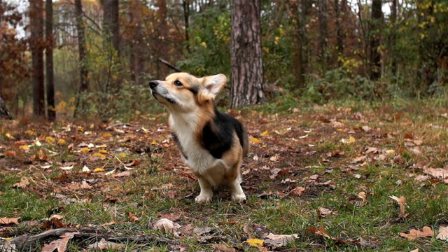 The dog sniffs the air. Dog breed Welsh Corgi Pembroke on a walk in a beautiful autumn forest. video