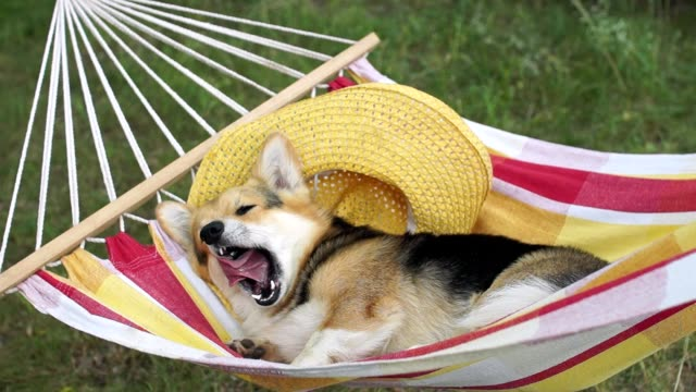 the dog welsh corgi pembroke rests in a yellow striped hammock. - amaca video stock e b–roll