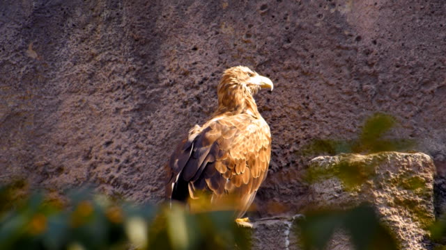The eagle sits on a hillside and watching closely the surrounding area video