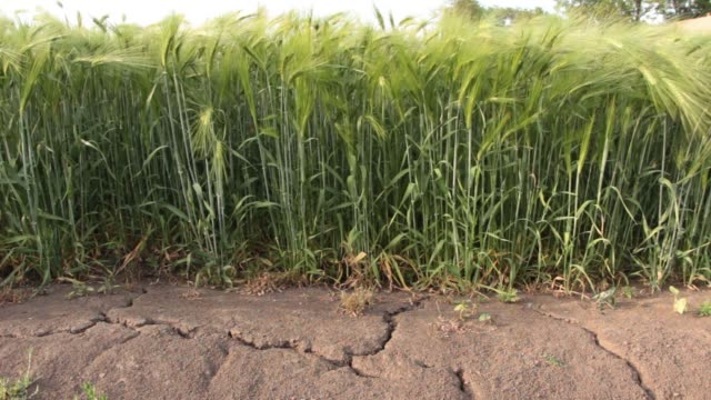 The earth was cracked by drought On the field with wheat video