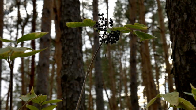 The elderberry in the forest. video