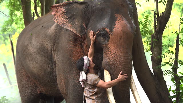 The elephant caretaker touches the elephants with love. In a rural village road it represents the way of life of elephants, love and bond of human beings with elephants.
