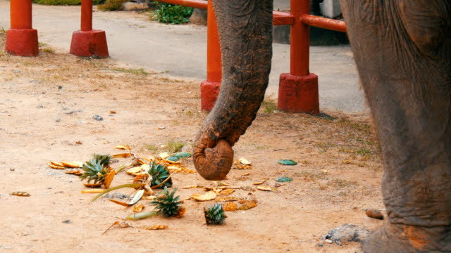 The elephant eats pineapple from ground. The elephant touches the long trunk greens video