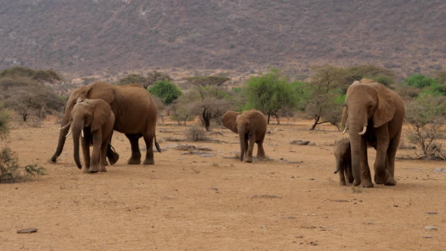 The Elephants Family With Baby Goes On The Desert With Brown Sand video