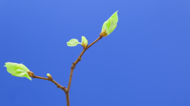 the emergence of green leaves on a tree branch - fronda video stock e b–roll