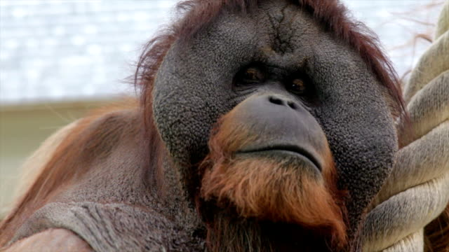 The expressive head of an orangutan male, human like great ape with amazing cheeks. video