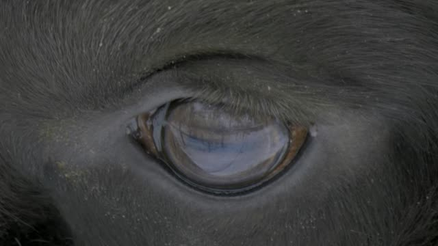 The eye of a bison video