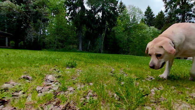 The face of the Labrador Retriever dog walking The face of the Labrador Retriever dog walking on the green grassy lawn outside the house leash stock videos & royalty-free footage