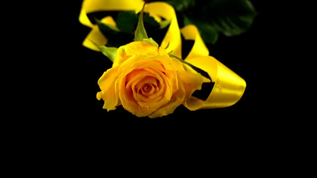 The falling rose and satin ribbon on a black background. Slow motion. video