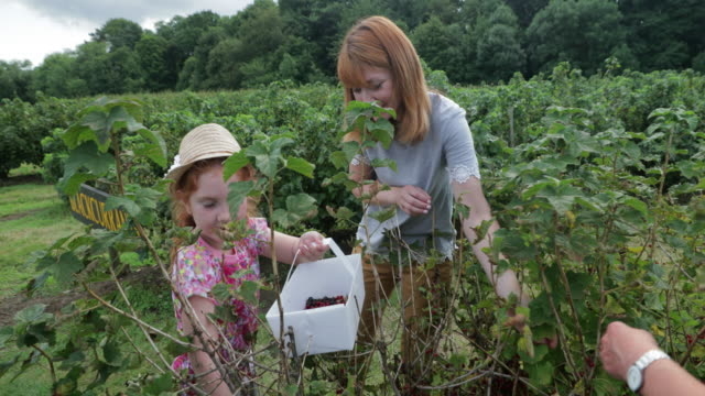The Family's Favourite Activity A young girl picking redcurrants at a pick-your-own farm with her mother and grandmother. small business saturday stock videos & royalty-free footage
