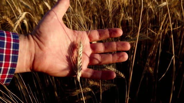 The farmer with the grain on hand A farmer with a grain on hand. The man supervises and cares for the wheat field before harvest. Natural farming and organic food production. agricultural occupation stock videos & royalty-free footage