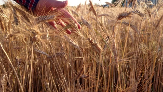 The farmer with the grain over hand A man with a grain over his hand. The farmer supervises and cares for the wheat field before harvest. Natural farming and organic food production. agricultural occupation stock videos & royalty-free footage
