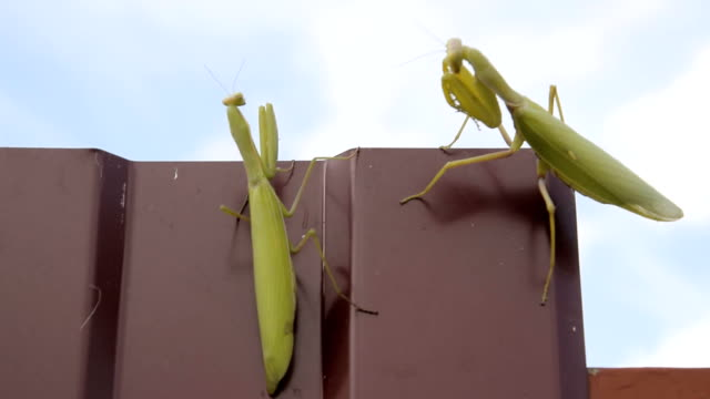 The female and the male praying mantis on a metal fence profile. video