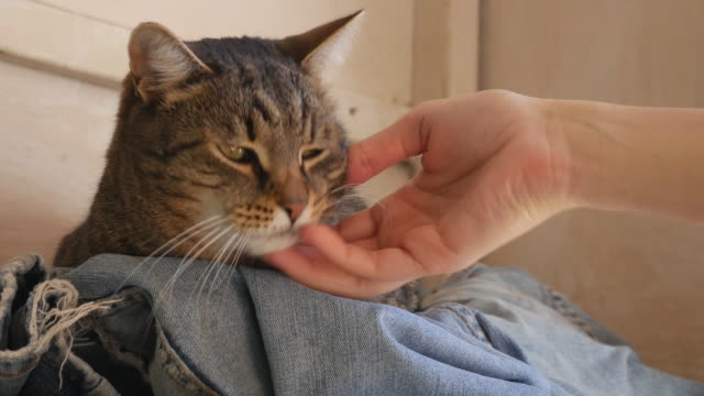 the female hand cuddle a striped cat on denim pants - gatto soriano video stock e b–roll
