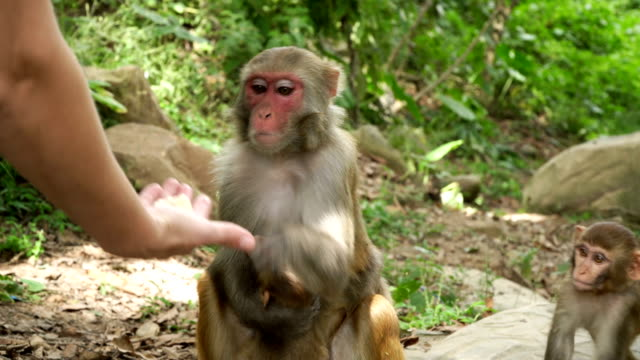 The female monkey takes food video