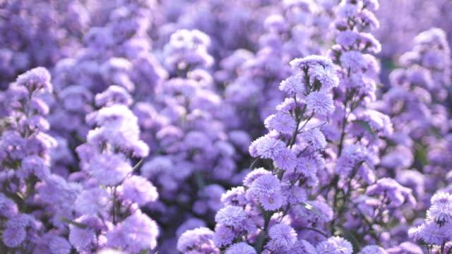The field of purple flower
