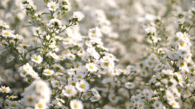 The filed of white flower with romance style