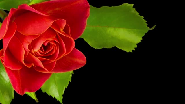 The flower Bud of rose blooms. Isolated on black background. Copy space.