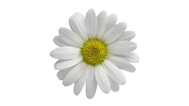 the flower which revolves - нивяник стоковые видео и кадры b-roll