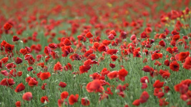 The flowering poppy field swayed from the wind. Slow motion shot