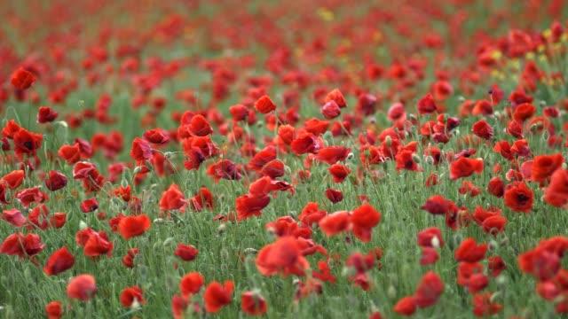 vídeos y material grabado en eventos de stock de el campo de flores amapolas se mecían por el viento. lenta de disparo - amapola planta
