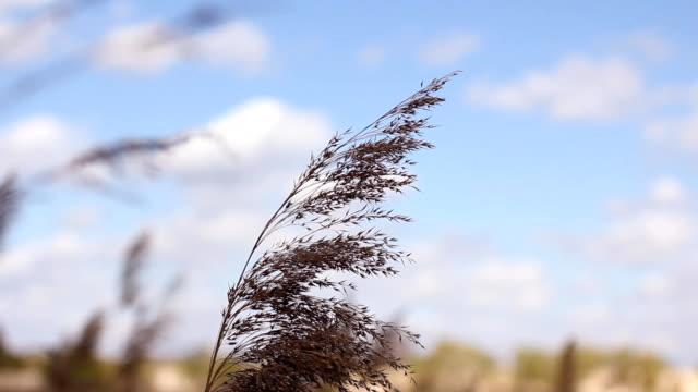 das flauschige goldenen schilf wiegen sich im wind am wasser. frühlingslandschaft, natur nach dem winter - schilf stock-videos und b-roll-filmmaterial