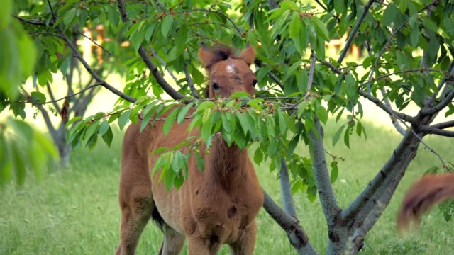 The foal eats leaves and fruits on the tree.