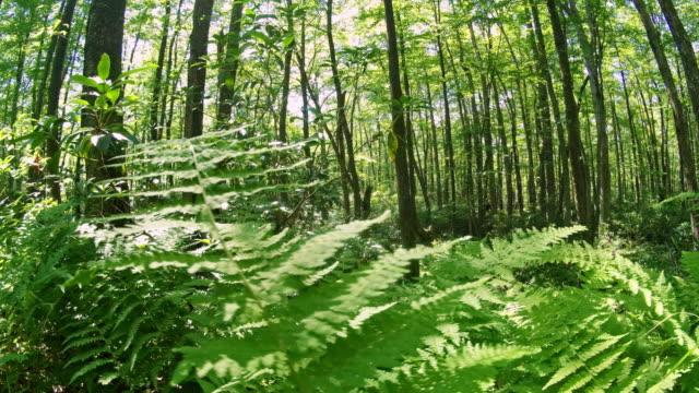 la foresta di poconos, pennsylvania, nella soleggiata giornata estiva - hickory run video stock e b–roll