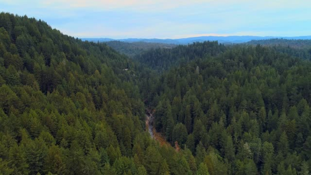 The forest of Sequoias in Northern California, USA West Coast