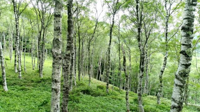 the forest of the white birch video