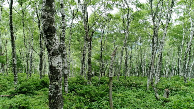 白樺の森 - 里山点の映像素材/bロール
