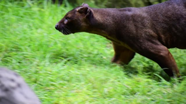 The fossa, scientifically known as Cryptoprocta ferox is a cat-like.