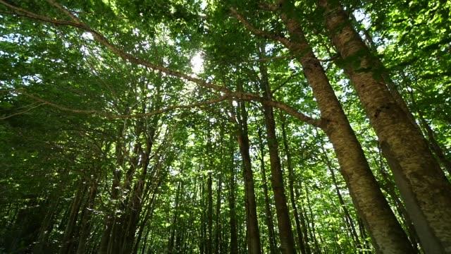ветви большого дерева в густом лесу - хвойное дерево стоковые видео и кадры b-roll