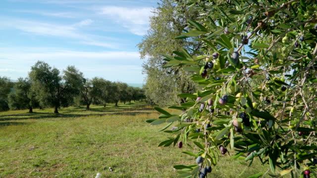 vidéos et rushes de les fruits de l'oliveraie à la ferme - olivier