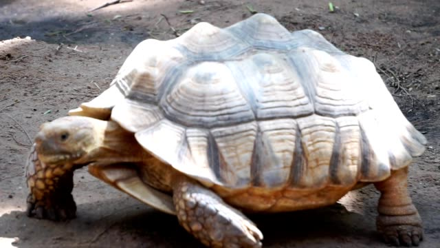 The giant tortoise is walking slowly The giant tortoise is walking slowly footage slow motion seychelles giant tortoise stock videos & royalty-free footage