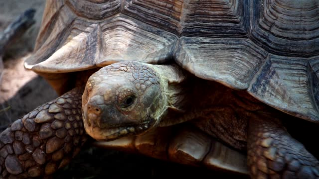 The giant tortoise is walking slowly The giant tortoise is walking slowly footage slow motion giant tortoise stock videos & royalty-free footage