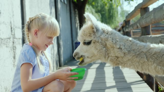 The girl is feeding a cool lama on the farm. Lama puffs a long neck into the fence slot