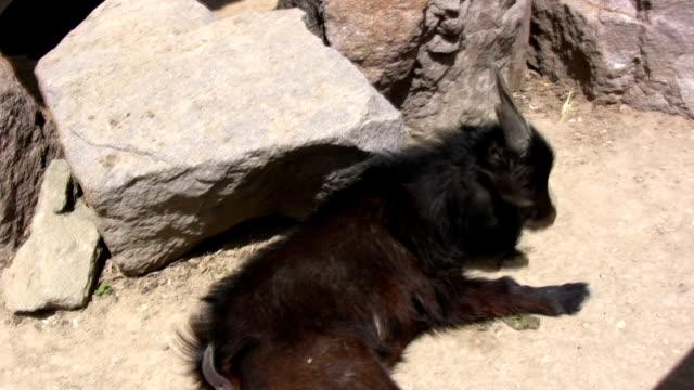 the goat - morrhår bildbanksvideor och videomaterial från bakom kulisserna
