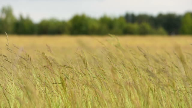 The grass is swaying in the wind - slowmotion 180fps video