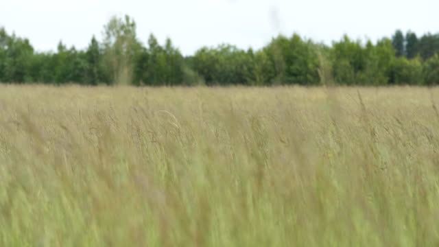 The grass is swaying in the wind - slowmotion 60fps video