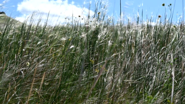 The grass sways in the wind in the steppe. video
