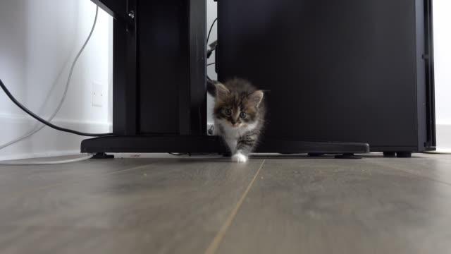 das graue kätzchen nähert sich der kamera mit neugier - nutztier oder haustier stock-videos und b-roll-filmmaterial