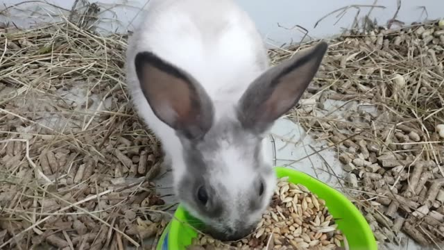 The gray rabbit is fed by feeding through a large muzzle. The rabbit is in a stainless cage with food. gray rabbit in a cage looking at the camera, a young rabbit