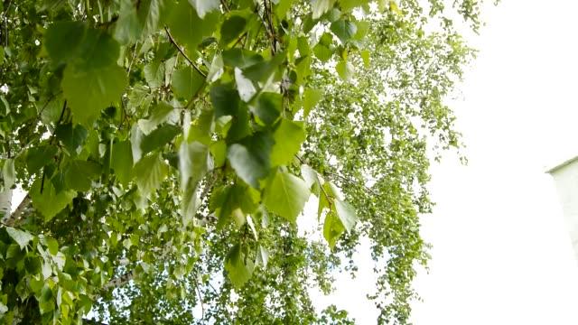 de gröna bladen av björk vajande i vinden, vinden skakar grenarna av trädet på en vår eller sommardag mot bakgrund av solljus - lucia bildbanksvideor och videomaterial från bakom kulisserna