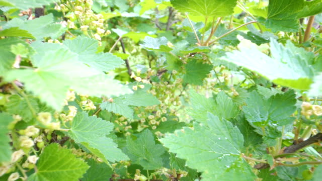 the green leaves of the red currant plant - ribes rosso video stock e b–roll