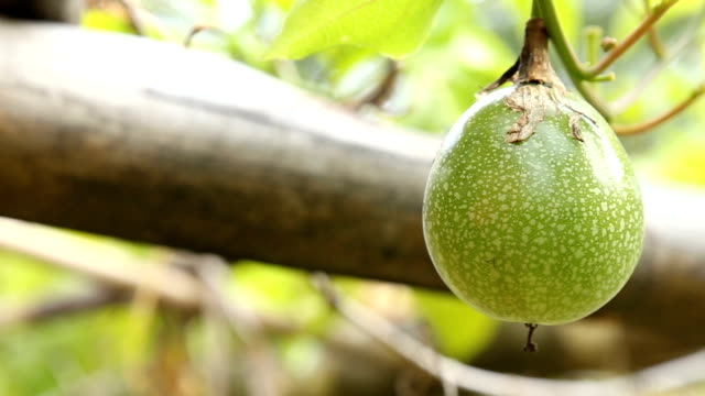 vidéos et rushes de le fruit de la passion vert à la ferme bouchent footage - fruit de la passion