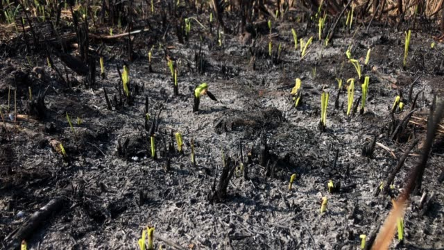 the greens, brushes and grass grow after fire. - piantagione video stock e b–roll