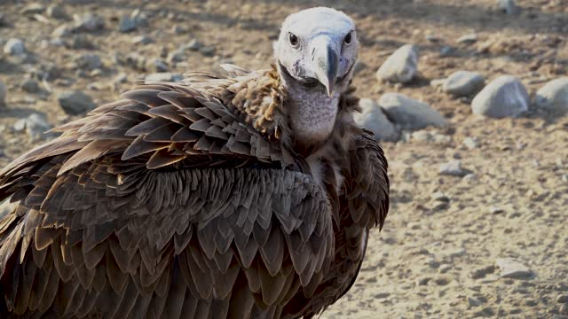 The griffon vulture close up (Gyps fulvus) head shot very close up showing feather and beak details. Scavengers in Africa and Middle East.