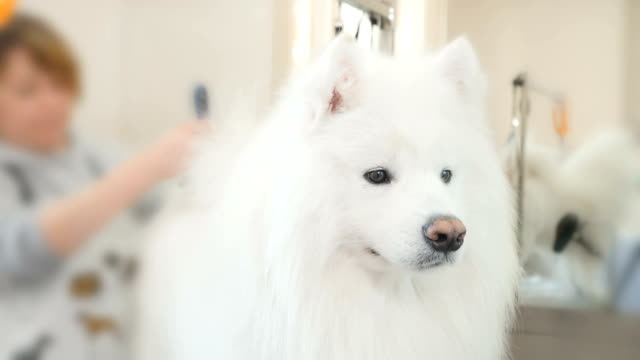 The groomer makes a style for white husky video